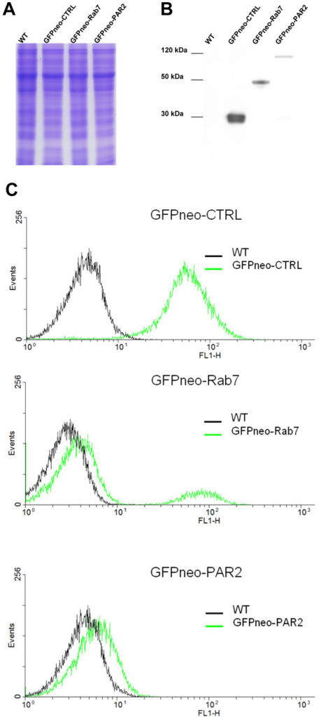 Detection of GFP-fused recombinant proteins and FACS analysis. Lanes in A and B represent protein extracts from T. cruzi wild type (WT) cells and cells transfected with GFPneo-CTRL, GFPneo-Rab7 and GFPneo-PAR2. In A is represented the load control gel. In B, these extracts were incubated with antibodies against GFP. BenchMark (Invitrogen) was used as the molecular weight marker. In C, T. cruzi wild type epimastigotes (WT) were used as a negative control. For each culture, 20,000 cells were counted. The Y- and X-axis represent the number of cells counted (events) and GFP fluorescence (FL1-H) in arbitrary fluorescence units (AFU), respectively.