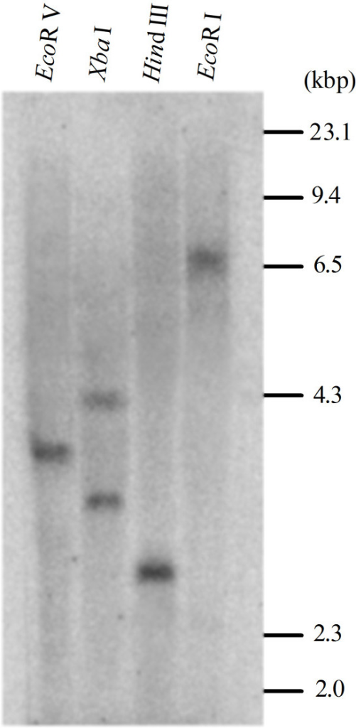 Southern blot analysis for GhMPK16 in the cotton genome. Genomic DNA (30 mg/sample) was digested with EcoR V, Xba I, Hind III and EcoR I respectively, followed by hybridization with the partial α-32P -labeled genomic GhMPK16 fragment. Molecular weight marker is shown on the right.