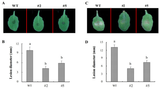 Inhibition of fungal pathogen infections in GhMPK16-overexpressing Arabidopsis lines. (A) Disease symptoms of leaves from wild-type (WT) and transgenic plants (#2 and #5) 5 d after inoculation with C. nicotianae (106 conidia/ml). (B) The diameter (mm) of the lesions was measured 5 d after inoculation with C. nicotianae. Data are the mean ± SE (n = 6) from three independent experiments. Different letters indicate significant differences with P < 0.05 according to Duncan's multiple range test. (C) Disease symptoms of the leaves from wild-type (WT) and transgenic plants (#2 and #5) 5 d after inoculation with A. alternate (106 conidia/ml). (D) The diameter (mm) of the lesions was measured 5 d after inoculation with A. alternate. Data are the mean ± SE (n = 6) from three independent experiments. Different letters indicate significant differences with a P < 0.05 according to Duncan's multiple range test.