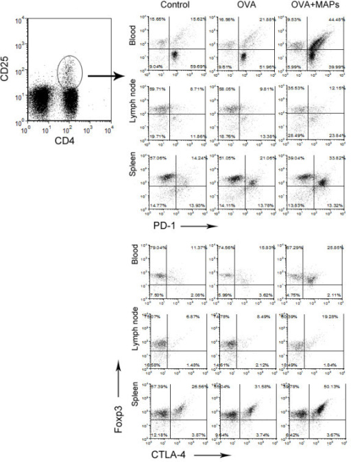 FCM detection of PD-1 and CTLA-4 on the surface of CD4+CD25+Foxp3+Treg cells in peripheral blood, mediastinal draining lymph nodes, and spleen of mice. To evaluate whether Treg cells in this study could play their role by contact inhibition, the surface expression of two major negative co-stimulatory molecules were detected by FCM. Freshly isolated cells from blood, mediastinal draining lymph nodes and spleen were stained with fluorescently antibodies for CD4, CD25, Foxp3 and PD-1 or CTLA-4. The results showed a significantly higher levels of PD-1 and CTLA-4 on the surface of Treg cells in MAPs treated mice than in control mice and OVA treated mice (gating on CD4+CD25+ cells).