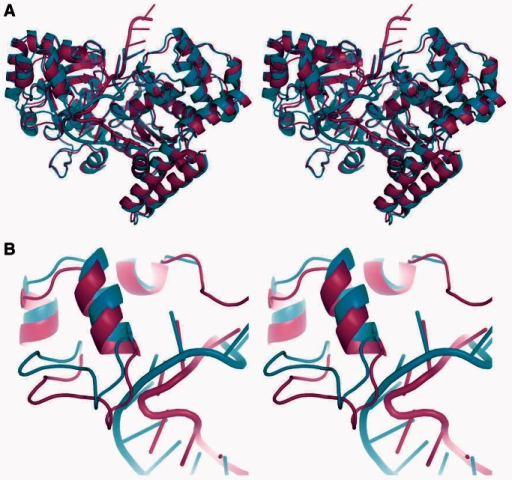 Overlay of complexes A and B observed in the Cy5-dT13 structure. (A) Complexes A (cyan) and B (magenta) were superimposed using all protein Cα atoms (rmsd 1.3 Å). Notice that all 13 nucleotides of the ssDNA are bound within the ExoI groove in complex A, whereas in complex B, only the first 10 nucleotides are bound to the groove, such that the three 5′ nucleotides extend from the surface of the complex. The 3′-nucleotide in the active site and the three nucleotides in the anchor site of each complex overlap closely, whereas those in the bulge region differ significantly. (B) Close-up view of the interaction with the bulge region. A portion of the SH3-like domain of complex B rotates inward by ∼4 Å to maintain its contact with the shorter bulge region. The superposition is the same as in panel A, but zoomed in on the region that shows the largest difference in the conformation of the protein.