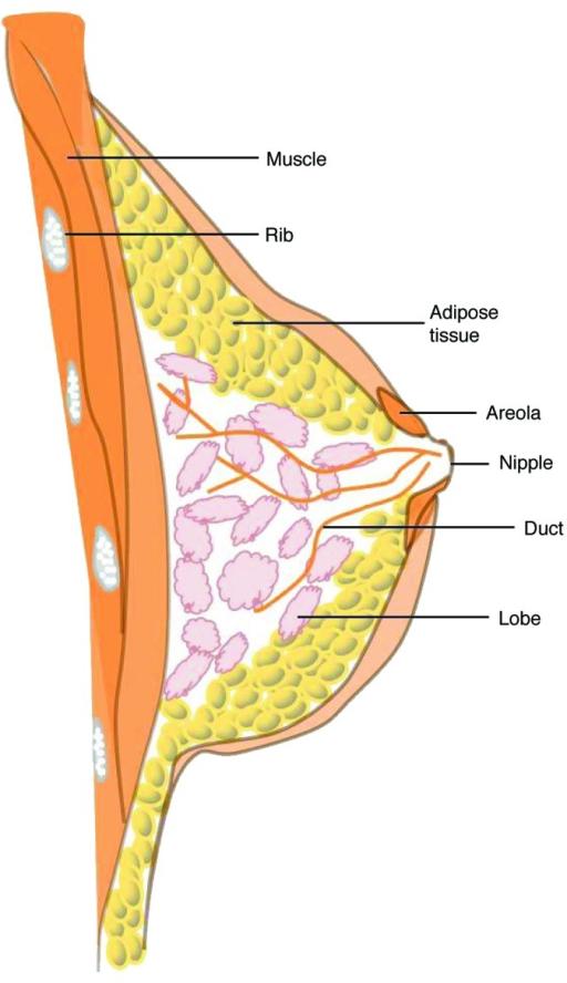 Figure 1. Anatomy of the breast. The female breast con | Open-i