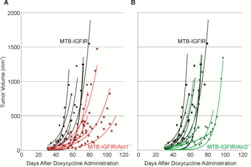 Mammary tumor volume in MTB-IGFIR, MTB-IGFIR/Akt1-/- and MTB-IGFIR/Akt2-/- mice. Graphs showing tumor volumes in (A) MTB-IGFIR/Akt1−/− mice (red squares, red lines; n=6) compared to MTB-IGFIR mice (black circles, black lines; n=11) and (B) MTB-IGFIR/Akt2−/− mice (green diamonds, green lines; n=6) compared to MTB-IGFIR mice (black circles, black lines; n=11). Tumor volumes for each mouse were plotted as a scatter plot and the best fit, exponential line was drawn. The same group of MTB-IGFIR mice were used for both comparisons.