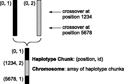 forqs chromosome representation. An individual chromosome is represented by a list of haplotype chunks. Each haplotype chunk is represented by two numbers (position, id): the position where it begins and the identifier of the founding haplotype from which it is derived. This cartoon depicts a chromosome with three haplotype chunks as the result of recombination (double crossover) between two founder chromosomes