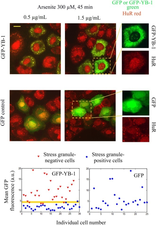 YB-1 inhibits stress granule assembly above a critical expression level. GFP-YB-1 or GFP-transfected NRK cells were exposed to 300 μM arsenite for 45 min. The amount of plasmid used is indicated above the pictures. Higher magnification images show that high expression levels of GFP-YB-1 (but not of GFP) inhibit stress granule assembly. Scatter plots of the mean GFP-YB-1 or GFP cytoplasmic fluorescence show that, above a critical expression level of GFP-YB-1, stress granule assembly is impaired. Such a pattern is not observed for GFP expression alone. The  hypothesis that the GFP-YB-1 fluorescence intensities of stress granule positive and negative cells are similar for the two populations displayed in the scatter plot is rejected at the 5% significance level (t-test).