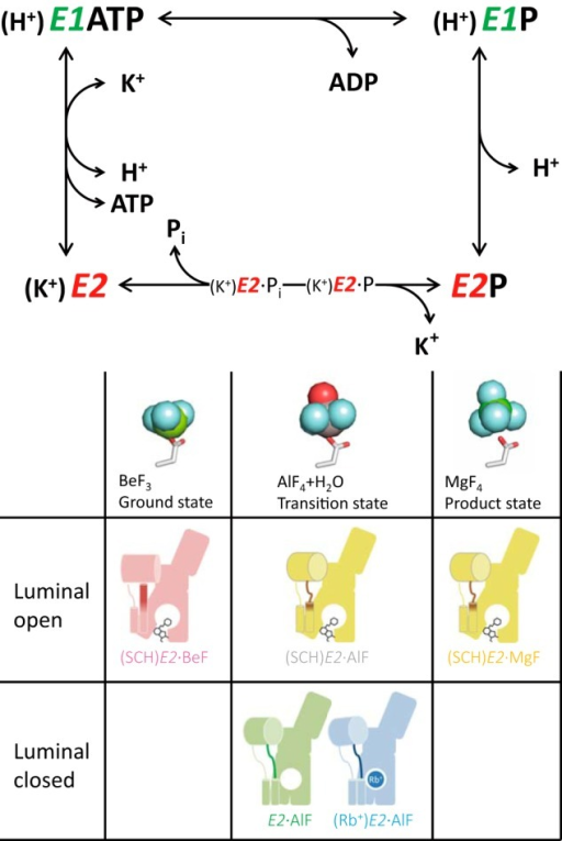 "Transport cycle of gastric H+,K+-ATPase and reaction sub-steps induced by XFs.Upper panel, ion transport and ATP hydrolysis are coupled to the cyclic conformational conversion of the enzyme (abbreviated as E) between its main states, E1 and E2, and their respective auto-phosphorylated forms, E1P and E2P. ATP hydrolysis generates the phosphoenzyme intermediate (E1P, E2P) by transfer of the γ-phosphate to the invariant Asp-386 residue in the presence of Mg2+ (omitted in the figure for simplicity). Lower panel, E2P and its dephosphorylation steps mimicked by XFs are shown (see ""Cytoplasmic Domains"" for details). The atomic models represent the coordination chemistry of XFs (sticks for an aspartate residue and spheres for BeF3 (left), AlF4 and a water (middle), and MgF4 (right), respectively). Schematics of the molecular conformations presented in this study are shown (see Fig. 9 for details)."