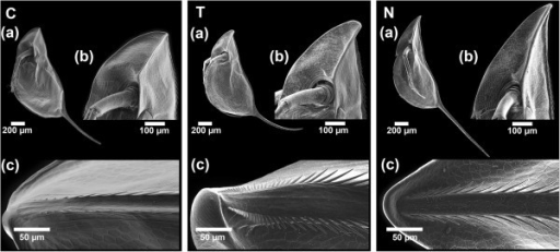 The morphotypes of D. barbata. SEM pictures, showing the control morph C, the Triops-induced morph T and the Notonectid-induced morph N from a lateral view (a), a detailed view of the helmet (b) and the dorsal ridge at the top of the helmet (c).