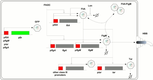 FliA-FlgM module.The regulatory circuit composed of the flagellar-specific transcription factor FliA, a sigma factor also known as σ28, and the anti-sigma factor FlgM forms a check-point in the transcriptional hierarchy of the motility genes in E. coli. While fliA is transcribed from a single class 2 promoter (pfliA), flgM is transcribed from both a class 2 and a class 3 promoter (pflgA and pflgM, respectively). FliA binds to RNA polymerase core enzyme and directs transcription from a total of five class 3 promoters [33], including ptar and pflgM. When bound to FlgM, FliA cannot activate transcription. When the hook basal-body (HBB) structure is in place, however, FlgM is exported from the cell, thus releasing FliA from the inactive complex. FliA is subject to proteolysis by Lon, but FlgM-binding protects FliA from degradation. The fliA promoter is auto-regulated by FliA and by a number of other regulators, most importantly the motility master regulator FlhDC. The expression of FlhDC itself is under the control of a variety of regulatory factors, including RpoS, CpxR, and CsgD. The activity of the genes in the figure is measured by fusion of their promoters to a gfp reporter gene on a low-copy plasmid. Genes are shown in grey or green and their promoter regions in red. Regulatory interactions are represented by open arrows, association and dissociation of FliA and FlgM as well as degradation and export by filled arrows. The figure does not explicitly show that fliA, flgM, and tar are included in larger transcriptional units, the fliAZY, flgAMN, flgMN and tar-tap-cheRBYZ operons [33].