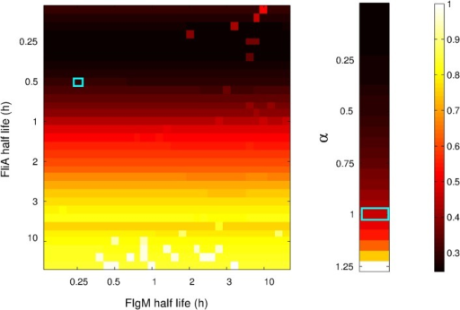 Heatmap of the fitting residuals for simulated data generated for different protein half-lives and for different strengths of global physiological effects.A: For all different combinations of 33 half-lives of FlgM (horizontal axis) and FliA (vertical axis), the residual of the fit for a model ignoring protein kinetics is represented by the color code reported in the right bar. For clarity of presentation, the residual values Q have been normalized with respect to the maximum value of Q over all half-life combinations. The combination corresponding to the measured half-lives in LB medium is marked with a light blue square (18 min for FlgM, 30 min for FliA). B: For 26 different values of the strength parameter α, defined in Eq. 4, the residual of the fit by a model ignoring global physiological effects is represented by the color code. The residual values Q have been normalized with respect to the maximum value of Q over the different strengths of physiological effects. The value corresponding to the real data is marked with a light blue rectangle (α = 1).