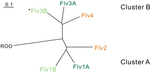Relationship between cyanobacterial FDPs based on sequence similarity and physiological functions. Phylogenic analysis is based on FDPs in Anabaena sp. PCC 7120. ROO (rubredoxin:oxygen oxidoreductase) from Desulfovibrio gigas is used as an outgroup. The FDPs functioning in the photoprotection of Photosystem II are indicated in orange. The FDPs functioning in the Mehler-like reaction and protection of Photosystem I are indicated in green. The FDPs indicated in dark green function in vegetative cells, and those in light green function in heterocysts. *Flv3B can be arranged and function as a homodimer [18].