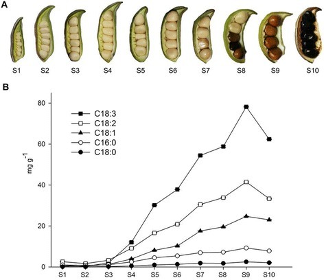 Observation and measurement of lipids across the developmental period of tree peony seeds. (A) The developmental progress of P. ostii seeds (S1-S10). Pods were harvested at 10 days after pollination (DAP, immature stage), and then every 10 days until 100 DAP (pods containing mature seeds). (B) The five dominant fatty acids at ten time points during tree peony seed development (mean ± SD, n = 3).