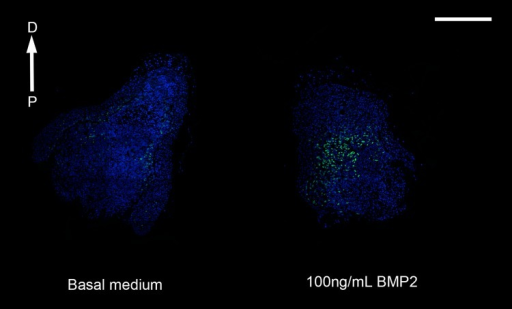 Proliferation in response to BMP2.Immunofluorescence showing EdU labeling of blastema slices originating from the same blastema and cultured in either basal medium or 100ng/mL BMP2. EdU positive proliferating cells are green, nuclei are stained with DAPI and are blue. The proximal (P) to distal (D) orientation of the sections is indicated. Scale bar = 1mm.