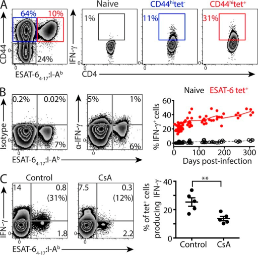 ESAT-6–specific CD4 T cells produce IFN-γ in a TCR signaling–dependent manner. Mice were infected as described in Fig. 1. (A) Intracellular IFN-γ was assessed by flow cytometry directly ex vivo using lung cells (150 d after infection) processed in the presence of Brefeldin A. Gating strategy and representative flow cytometry plots for naive CD44low (gray), nontetramer-binding CD44hi (blue), and ESAT-6 tetramer-binding CD44hi (red) CD4 T cells are shown. (B) Flow cytometry plots show intracellular IFN-γ, or staining with isotype matched control, in ESAT-6–specific CD4 T cells (70 d after infection). Graph shows the percentage of ESAT-6 tetramer-binding or naive CD44low T cells producing IFN-γ at the indicated time points. (C) Mice infected with Mtb 35 d prior were treated intraperitoneally with either cyclosporine-A (CsA) or vehicle, and ESAT-6–specific cells in the lung were assessed for intracellular IFN-γ as in A and B. Numbers in parentheses represent the percentage of ESAT-6 tetramer-binding CD4 T cells producing IFN-γ and the graph shows this value for each mouse and the mean ± SEM for each group. Significance was determined by two-tailed Student's t test (**, P < 0.01). Data are representative of two independent experiments with four to five mice per group.