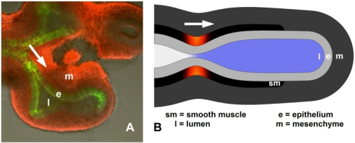 Geometry of embryonic lung and model.A. Explanted E11.5 mouse lung showing lumen (l), epithelium (e, green), and mesenchyme (m, red). Smooth muscle (sm) not visible. B. Embryonic lung idealized as unbranched, axisymmetric tubule, with three uniform tissue layers plus lumen. Smooth muscle undergoes active circumferential contraction wave (red), propagating distally, building lumen pressure ahead of it (blue).
