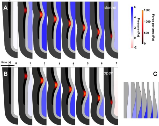 Frames from model simulations of AP with partial occlusion, for open and closed trachea.Each frame shows half the symmetric tubule. A. Closed trachea. Lumen pressure is spatially uniform and increases as soon as AP begins. B. Open trachea. Lumen pressure is negligible until occlusion is almost complete. Pressure is uniform everywhere in the lumen except at stenosis, where flow is fastest. Maximal occlusion shown ~ 90%. C. Detail of open-trachea AP. Maximal occlusion precedes maximal pressure. Pressure distal to pinch forces fluid leakage and reduces occlusion as wave moves distally. Identical parameters (stiffness, viscosity, force input). Frames every 1.0 sec (A, B) and 0.5 sec (C).