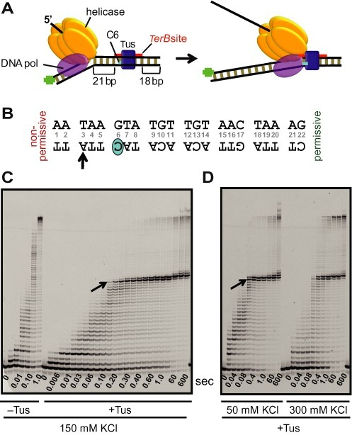 Tus–TerB arrest of DNA synthesis by T7 helicase–DNA polymerase at single-nucleotide resolution. (A) Schematic of the experimental design to study replication arrest of T7 helicase-polymerase by Tus–TerB at single-nucleotide resolution using the chemical quenched flow assay. (B) The TerB sequence and the C(6) base. The TerB sequence numbering is followed throughout. (C) High resolution DNA sequencing gel shows progressive strand displacement DNA synthesis by the T7 helicase–polymerase on a fork DNA containing TerB in the non-permissive orientation. Arrows indicate the first arrest position band corresponding to the arrow on the TerB sequence in (B). These reactions were carried out in the quenched flow apparatus (QF) in the presence or in the absence of Tus protein at 150 mM KCl at 0.1 mM dVTPs and 1 mM dTTP. (D) Sequencing gel shows the QF reactions in the presence of Tus at 50 and 300 mM KCl, with all dNTPs at 1 mM. Each time point shown here is an independent reaction. Another QF experiment is also shown in Supplementary Figure S3 and extended time scale experiments are shown in Supplementary Figures S4, S6 and S7.