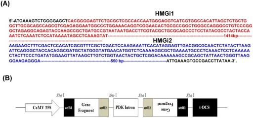 Target sequences of HMG gene for RNA interference and plasmid vector for cotton genetic transformation. (A) Two sequences of HMG gene were used for RNAi target sequences in this experiment. The HMGi 1 sequence was indicated in red font and the HMGi 2 sequence was indicated in blue font. (B) Schematic representation of T-DNA region of the expression cassette of HMGR RNA interference vector.