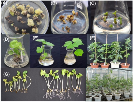 Creating transgenic cotton plants by Agrobactrium-mediated genetic transformation. (A) Callus induction on selective media containing kanamycin. (B) Embryogenic callus emerged from non-embryogenic callus. (C) Somatic embryos and young plantlets developed from embryogenic callus. (D), (E)and(F) Regenerated putative transgenic plants cultured in rooting media, water and soil. (G)Identification the positive and negative plants of T1 progeny on selective media containing kanamycin. (H)Positive T1 transgenic progeny cultivated in greenhouse.