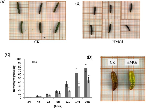 The body size, net weight gain and abnormal pupation of cotton bollworm larvae fed on leaves of negative control and positive transgenic cotton leaves. (A) and (B) The larvae feeding on leaves of negative(on the left) and positive(on the right) transgenic plants for 144 h show difference in body size. The growth of cotton bollworms was conspicuously impaired by the ingestion of transgenic leaves expressing dsRNAs. (C) The net weight gain of cotton bollworm larvae fed with transgenic plants expressing ds-HMGRs was impaired. The net weight gain of transgenic and control group did not show significant difference before 96 hours, but became distinct at 120 hours after feeding. The test was repetitiously performed for three times. The student's t-test was used to perform the statistical analyses of the data. **statistically significant at 0.01. (D) The phenotype of pupae pupated from larvae reared on positive and negative transgenic leaves. Larvae fed on leaves expressing dsRNA of HMGR pupated on time but the appearance of their pupae were distinctive from control. Their exocuticle were significantly thinner and softer than control, whose internal structure can be easily observed by naked eye.