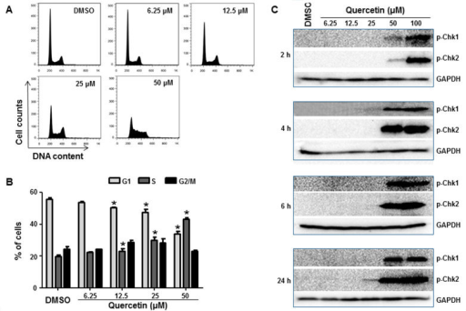 Effects of quercetin on the cell cycle of HepG2 cells.(A) Histograms show DNA content analyses for HepG2 cells treated with the indicated concentrations of quercetin for 24 h by flow cytometric analysis. Treated cells were stained with propidium iodide (PI) and processed for cell cycle analysis. (B) The bar graph depicts the mean percentage of each cell cycle phase ± S.D. from four independent experiments. *p < 0.05 representing significant difference from the vehicle control. (C) Expression of cell cycle checkpoint-related proteins was determined in HepG2 cells treated with the indicated concentrations of quercetin for 2, 4, 6, and 24 h. Treated cells were lysed and subjected to Western blot analyses with antibodies against phospho-Chk1 and phospho-Chk2.