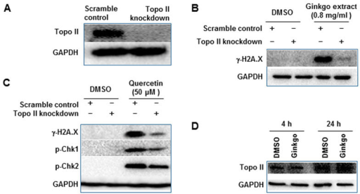 Effect of silencing of Topo II on Ginkgo biloba extract- or quercetin-induced DNA damage.(A) HepG2 cells stably expressing doxycycline (DOX)-inducible Topo II knockdown and scramble control cell lines were incubated with DOX for 3 days followed by continued culture for another 4 h without DOX; then the Topo II knockdown efficiency was assessed by Western blot. (B,C) Topo II knockdown and scramble control cells were incubated with DOX for 3 days and then treated with Ginkgo biloba leaf extract at 0.8 mg/ml (B) or quercetin at 50 μM (C) for another 4 h without DOX. Treated cells were then lysed and subjected to Western blot analyses with antibodies against γ-H2A.X, p-Chk1, and p-Chk2. Similar results were obtained from three repeated experiments. (D), HepG2 cells were exposed to Ginkgo biloba extract at the concentration of 0.8 mg/ml for 4 h or 24 h. Cells lysis was subjected to Western blot analysis with an antibody against Topo II.