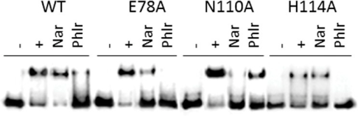 Effect of naringenin and phloretin on the dissociation of TtgRWT and variants (TtgRH114A, TtgRN110A and TtgRE78A) from ttgR-ttgABC intergenic region by EMSA.(-) 1nM of free labeled operator DNA, (+) DNA-complex with 2 μM of TtgRWT and its variants, and DNA complex in the presence of 5μM of naringenin (Nar) and phloretin (Phlr).