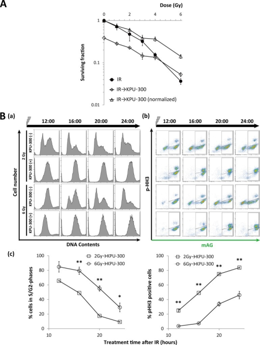 Radiosensitivity and cell cycle kinetics of cells subjected to KPU-300 treatment after irradiation.(A) Survival curves in HeLa-Fucci cells treated with KPU-300 after irradiation. Cells were treated with 30 nM KPU-300 for 24 h immediately after irradiation, and then prepared for colony-forming assay. For normalization, the curve for combined treatment was shifted upward so as to obtain the surviving fraction 1 at 0 Gy. Data represent means ± S.E. of values obtained from three independent experiments. (B) Cell cycle kinetics after the same treatment described in Fig 7A. (a) Time course of DNA content with or without KPU-300 treatment after 2 Gy or 6 Gy irradiation. (b) Time course of two-dimensional flow-cytometric analysis to detect green fluorescence and an M-phase marker. The acquired time points are shown as hours:minutes in each image. (c) Quantitative analysis of green cells (left panel) and M-phase cells (right panel) after the same treatment described in Fig 7A. Data represent means ± S.E. of values obtained from three independent experiments. *, p < 0.05; **, p < 0.01 vs. lower values for the same time points.