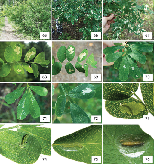 Life history of Micrurapteryxcaraganella sp. n. in Siberia, Russia. 65 the species' habitat 66–67 heavily defoliated bushes of Caraganaarborescens68–69 blotch mines on the upperside of the leaf, at transmitted light, with visible larva in one of the mines 70–71 mines on Caraganafrutex, with long initial tunnels on the low side of the leaf (71) 72 mine on the leaf of Medicagosativa73 larvae ejecting fecal pellets out of the leaf mine by protruding rear part of the body through a slit on low side of the leaf on Caraganaboisii74 larva vacating the mine on the low side of the leaf 75 larva spinning the cocoon on upper side of the leaf along the midrib 76 pupa in the transparent cocoon on lower side, perpendicular to the midrib. Collection sites: 65, 68, 69 Novosibirsk, Central Siberian botanical garden SB RAS, Caraganaarborescens, 08.VIII.201273, 74 same place, Caraganaboisii, 14.VI.201266, 67 Omsk, Victory Park, Caraganaarborescens, 23.VII.201570, 71 same place and date, Caraganafrutex; 72 same place and date, Medicagosativa75, 76 Krasnoyarsk, Akademgorodok, the left bank of the river Yenisei, Caraganaarborescens, 15.VII.2013.
