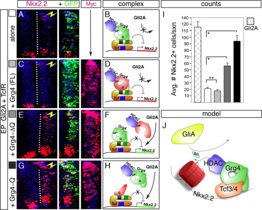 Functional interactions between Grg4 and HDAC/Tcf4 are required to repress Gli2A induction of Nkx2.2 in vivo.(A) Co-transfection of Tcf4R with Gli2A (both at (at 2.0 μg/μl) suppresses induction of Nkx2.2. (B) Predicted repressor complex for Tcf4R-mediated repression. (C, D) Co-transfection of a full-length Grg4 construct with Gli2A+TcfR also suppresses Nkx2.2 induction. (E-H) Co-transfection of Grg4 deletion constructs with Gli2A+TcfR. Both Grg4-ΔQ and Grg4-Q domain proteins prevent Tcf4R from blocking Gli2A-mediated induction of Nkx2.2 (seen in A). Antibody staining for the Myc-epitope tag was used to detect Grg4 constructs in all figures; GFP expression marks cells transfected with Tcf4R, while Gli activity was monitored by assaying Nkx2.2 expression. (I) Quantification of induced Nkx2.2 cells in each experiment, (J) Model for the regulation of Nkx2.2 by Tcf repressors involving HDAC activity and chromatin remodeling. *p<0.001, **p>0.05.