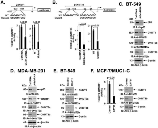 MUC1-C activates DNMT1 and DNMT3b expression by an NF-κB-mediated mechanism(A) Schema of the DNMT1 promoter-luciferase (pDNMT1-Luc) reporter with an NF-κB binding motif at -833 to -824 upstream to the transcription start site. MDA-MB-231 cells were transfected with (i) the empty pGL3-Basic Luc vector or pGL3-pDNMT1-Luc, and the SV-40-Renilla-Luc plasmid as an internal control (left), and the empty pGL3-Basic Luc vector, wild-type (WT) pGL3-pDNMT1-Luc or mutant pGL3-pDNMT1-Luc and the SV-40-Renilla-Luc plasmid (right). Dual luciferase activity was measured at 48 h after transfection. The results (mean±SD of 3 determinations) are expressed as the relative luciferase activity compared to that obtained with (i) the MDA-MB-231/MUC1shRNA cells (assigned a value of 1)(left) and (ii) the mutant pGL3-pDNMT1-Luc (assigned a value of 1) (right). (B) Schema of the DNMT3b promoter-Luciferase (pDNMT3b-Luc) reporter with two putative consensus NF-κB binding sites at the indicated positions. MDA-MB-231 cells were transfected with the pGL3 vector, wild-type (WT) pGL3-pDNMT3b-Luc or mutant pGL3-pDNMT3b-Luc and SV-40-Renilla-Luc. The cells were then analyzed for luciferase activity as described above. (C–D) Lysates from the BT-549 (C) and MDA-MB-231 (D) cells without and with p65 silencing were immunoblotted with the indicated antibodies. (E) Lysates from BT-549 cells treated with control vehicle (DMSO) or 10 μM BAY11-7085 for 24 h were immunoblotted with the indicated antibodies. (F) MCF-7/MUC1-C cells were transfected with the pGL3 or pGL3-pDNMT1-Luc, and the SV-40-Renilla-Luc plasmid. The cells were also treated with control vehicle (DMSO) or 10 μM BAY11-7085. Luciferase activity was measured at 48 h after transfection. The results (mean±SD of 3 determinations) are expressed as the relative luciferase activity compared to that obtained with BAY11-7085-treated cells (assigned a value of 1). MCF-7/MUC1-C cells were treated with control vehicle (DMSO) or 10 μM BAY11-7085 for 24 h. Lysates were immunoblotted with the indicated antibodies (right).