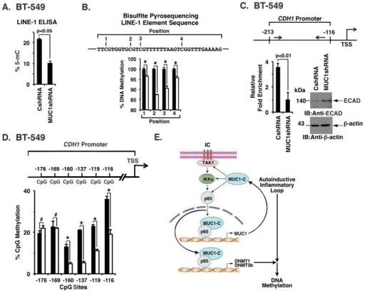 MUC1-C induces LINE-1 and CDH1 promoter DNA methylation(A) Genomic DNA from the indicated BT-549 cells was analyzed using the LINE-1 global DNA methylation ELISA kit. The results are expressed as percentage 5-mC (mean±SD of 3 determinations) based on extrapolation from the methylated and unmethylated genomic standards provided in the kit. (B) Genomic DNA from BT-549/CshRNA (closed bars) and BT-549/MUC1shRNA (open bars) was analyzed by bisulfite conversion, PCR amplification and pyrosequencing of 4 CpG positions in the LINE-1 element. The results are expressed as the percentage DNA methylation (mean±SD of 3 determinations) at each of the 4 positions as compared to that obtained in BT-549/CshRNA cells (assigned a value of 100%). The asterisk (*) denotes a p value of <0.05. (C) Genomic DNA from BT-549 cells was subjected to immunoprecipitation of methylated DNA (MeDIP) and the precipitates were analyzed by qPCR of the CDH1 promoter (positions −213 to −116). The results (mean±SD of 3 determinations) are expressed as relative fold enrichment compared to that obtained from MUC1shRNA expressing cells (assigned a value of 1)(left panel). Lysates from the indicated cells were analyzed by immunoblotting (right panel). (D) Genomic DNA from BT-549/CshRNA (closed bars) and BT-549/MUC1shRNA (open bars) was analyzed by bisulfite conversion, PCR amplification and pyrosequencing of the indicated CpG sites in the CDH1 promoter. The results are expressed as the percentage DNA methylation (mean±SD of 3 determinations) at each of the 6 CpG sites. The hashtag (#) and asterisk (*) denote p values of >0.05 and <0.05, respectively. (E) Schema depicting the proposed MUC1-C-induced expression of DNMT1 and DNMT3b, and thereby DNA methylation in human cancer cells. MUC1-C induces an autoinductive inflammatory circuit involving activation of the TAK1→IKK→NF-κB p65 pathway (21–23). MUC1-C promotes NF-κB p65-mediated induction of DNMT1 and DNMT3b transcription by interacting with NF-κB p65 on their respective promoters and increasing NF-κB p65 occupancy. In turn, MUC1-C links the inflammatory response with induction of DNA methylation and regulation of gene expression. Thus, targeting MUC1-C in cancer cells with silencing or inhibitors suppresses (i) DNMT1 and DNMT3b expression, and (ii) global and promoter-specific DNA methylation.