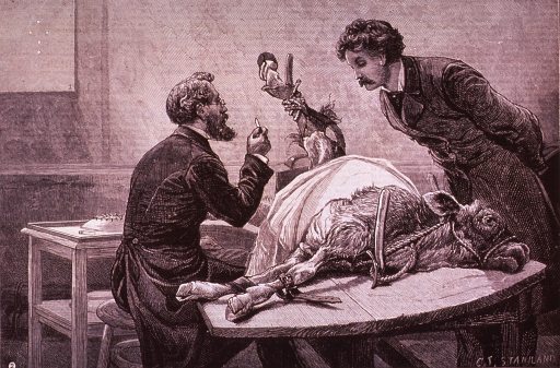 <p>A physician is removing lymph from a calf tied down on a table; another man observes. In the upper left corner is the &quot;distinctive mark of animal vaccination.&quot;</p>
