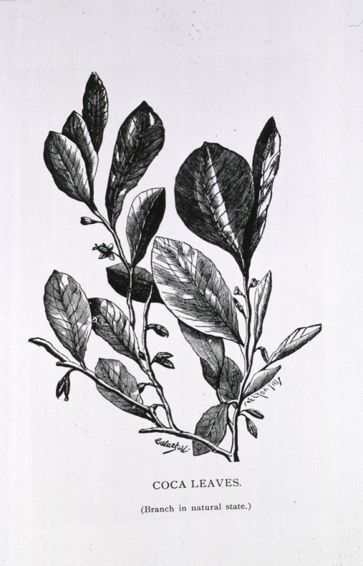 <p>Stem of coca plant showing leaves and seed pods.</p>