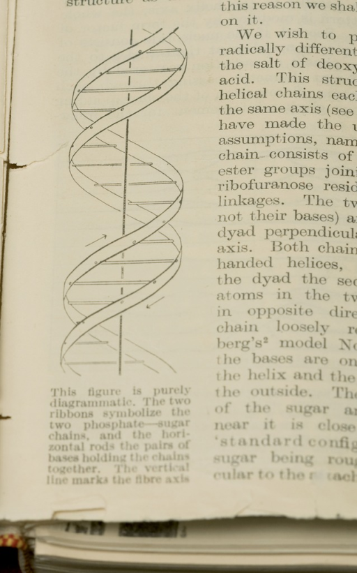 <p>The first published illustration of the double helix. James D. Watson and Francis H. C. Crick, &quot;Molecular structure of Nucleic Acids: a structure for deoxyribose nucleic acid,&quot; Nature 171, 25 [April 1953]: pp. 737-38. The caption reads: &quot;The figure is purely diagrammatic. The two ribbons symbolize the two phosphate-sugar chains, and the horizontal rods the pairs of bases holding the chains together. The vertical line marks the fibre axis.&quot;</p>