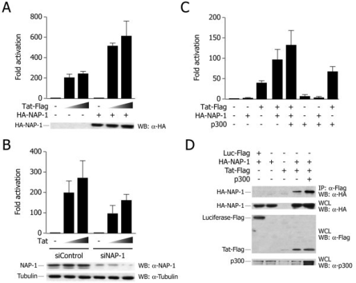 hNAP-1 cooperates with Tat in LTR transactivation. A. hNAP-1 synergizes with Tat in transcriptional activation. HeLa cells were cotransfected with a reporter construct containing the HIV-1 LTR upstream of the luciferase gene, and with vectors for HA-tagged hNAP-1 (100 ng) and HIV-1 Tat (5 and 25 ng), as indicated. The histogram shows mean ± s.d. of at least three independent experiments; the results are shown as fold transactivation over LTR-luciferase reporter alone. The co-expression of hNAP-1 significantly increased Tat transactivation of the LTR promoter. The western blot at the bottom shows the levels of transfected hNAP-1 protein in a representative experiment. B. hNAP-1 knock down decreases Tat transactivation. HeLa cells were transfected with a specific siRNA against hNAP-1 or a control siRNA, and then transfected with the LTR-luciferase reporter together with Tat (5 and 25 ng). The histogram shows mean ± s.d. of at least three independent experiments; the results are shown as fold transactivation over LTR-luciferase reporter alone. The western blot at the bottom shows the levels of endogenous hNAP-1 protein and of tubulin as a control in a representative experiment. C. hNAP-1, Tat and the acetyltransferase p300 synergistically activate viral transcription. HeLa cells were transfected with LTR-luciferase reporter plasmid and with vectors for HIV-1 Tat (5 ng), HA-hNAP-1 (100 ng) and p300 (100 ng), as indicated. After 24 h from transfection, luciferase assays were performed. The histogram shows mean ± s.d. of at least three independent experiments; the results are shown as fold transactivation over LTR-luciferase reporter alone. D. p300 enhances Tat-hNAP-1 interaction in vivo. The plasmids indicated on top of the figure were transfected into HEK 293T cells. The upper panel shows western blots with the indicated antibodies after immunoprecipitation using an anti-Flag antibody; the lower three panels show western blotting controls from whole cell lysates (WCL) from transfected cells to show the levels of expression of the transfected proteins.