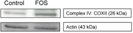 Mucosal scrapings (pool of n = 12 per group) were examined for complex IV subunit COXII protein levels. The experiment was performed three times with independent, pools, showing a 1.5; 1.7 and 2.7 fold difference in COXII protein expression relative to Actin, respectively. The 1.5 fold increase is shown.