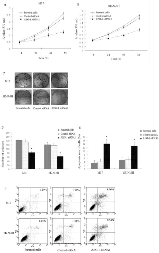AEG-1 knockdown inhibits proliferation and promotes apoptosis in neuroblastoma cells. (A, B) Cell viability was evaluated by MTT assay. The results of cell proliferation assay showed a significant decrease in the number of cells by 42.9% in M17 and 49.5% in SK-N-SH in 72 h. (C, D) Compared with that seen in the parental cells, the number of colonies was significantly reduced in the AEG-1 siRNA1 transfected group (*P < 0.05 vs. parental cells). Each experiment was performed three times in triplicate. (E) The apoptosis rate of AEG-1 siRNA1 transfected cells significantly increased by 9.6% ± 1.7% in M17 and 9.0% ± 1.4% in SK-N-SH cells (*P < 0.05 vs. parental cells), respectively. (F) Representative results are shown. These experiments were performed in triplicate.