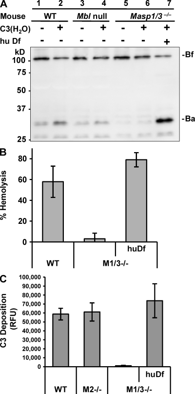 Df restores the deficiency of alternative pathway activation in Masp1/3−/− mice. (A) Immunoblot analysis of Bf incubated with the sera of wild-type C57BL/6 (WT), MBL-A, and -C double-deficient (Mbl ) and Masp1/3−/− mice at 37°C for 30 min. Each serum type was incubated with (+) or without (−) 1.25 µg C3(H2O). Serum from Masp1/3−/− mice was also incubated with (+) human Df (0.2 µg). Note: an additional band (∼26 kD) was also detected with Ba, but it was not identified. (B) A hemolytic assay using rabbit erythrocytes was performed. Percent hemolysis induced by sera (25 µl) from wild-type (WT), Masp1/3−/− (M1/3−/−), and Masp1/3−/− mice supplemented with 0.2 µg human Df (huDf) is indicated. (C) A C3 deposition assay on immobilized zymosan was performed. 5 µl of sera from wild-type (WT), Masp2/sMap−/− (M2−/−), and Masp1/3−/− (M1/3−/−) mice supplemented with 0.2 µg human Df (huDf) were analyzed. Data are presented as the means ± SD of three independent experiments.