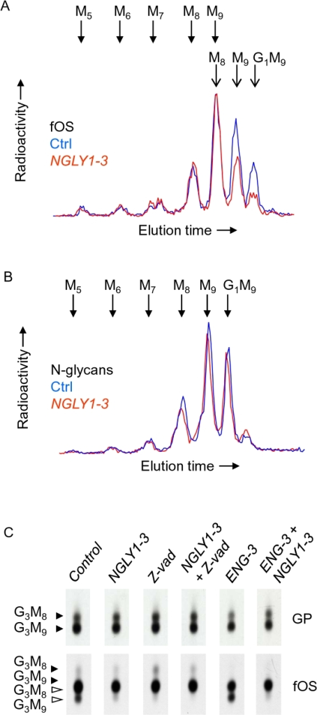 Examination of fOS, and N-glycans after NGLY1-3 or Z-vad mediated reduction of Ngly1p activity in control and castanospermine-treated cells.A. HepG2 cells were transfected with 25 pmoles of control siRNA (Ctrl), or 25 pmoles of NGLY1-3. Three days after transfection, cells were pulse-radiolabeled with [2-3H]mannose for 30 min and cellular EndoH-released [2-3H]N-glycans (N-glycans) and [2-3H]fOS (fOS) were prepared and analysed by HPLC. Whereas the whole fOS fractions were analysed, only 25% of the N-glycan fractions were examined by HPLC. The elution positions of standard oligosaccharides are indicated above the HPLC profiles and the abbreviations used are defined in the legend for Fig 2. B. HepG2 cells were transfected with 50 pmoles of control siRNA (Ctrl), or 25 pmoles each of NGLY1-3 and 25 pmoles of control siRNA (NGLY), or 25 pmoles each of ENG-3 and 25 pmoles of control siRNA (ENG), or 25 pmoles each of NGLY1-3 and ENG-3 (ENG + NGLY). Three days after transfection, cells were preincubated for 30 min with 2 mM castanospermine (CST), and where indicated, with 40 µM Z-vad-fmk (Z-vad). Cells were then pulse-radiolabeled with [2-3H]mannose for 30 min and cellular EndoH-released [2-3H]N-glycans (GP) and [2-3H]fOS (fOS) were prepared and examined by TLC. The scanned TLC lanes are from the same fluorograph, but due to uneven migration, the scans were aligned manually to facilitate interpretation of data. Closed and open arrowheads indicate the migration positions of components bearing one or two residues, respectively, of GlcNAc at their reducing end. The abbreviations are: G3M9; Glc3Man9GlcNAc1-2, G3M8; Glc3Man8GlcNAc1-2. C. These experiments were performed once.