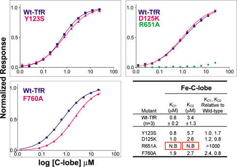 Biosensor Analyses of Fe-C-Lobe Binding to Immobilized Wild-Type and Selected Mutant TfR MoleculesPlots of the equilibrium binding response, normalized to the Rmax value (the ligand immobilization value) derived from fitting, versus concentration of injected Fe-C-lobe, are shown for the indicated TfR mutants along with the wild-type TfR control that was present in an adjacent flow cell on the same biosensor chip. Best-fit binding curves derived from a bivalent ligand model are shown as solid lines connecting the datapoints (squares for wild-type TfR and triangles for TfR mutants). The R651A mutant exhibited no binding and was not fit. A summary of derived binding constants is shown in the lower right panel. The KDs for wild-type TfR are averages derived from three independent measurements, and the number after the plus/minus sign represents the standard deviation.