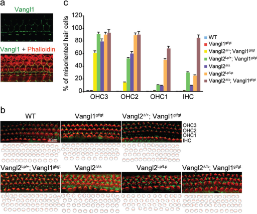 The Vangl2Δ/Δ; Vangl1gt/gt embryos exhibit the most severe polarity defectsa, Asymmetrical localization of Vangl1 protein (green) in the sensory hair cells of the Vangl2Δ/Δ cochlea at E18.5. b, The sensory hair cell polarity at E18.5 is shown by the orientation of actin-based stereocilium bundles (red) and the microtubule-based kinocilia (green). c, Quantification of misoriented hair cells in embryos with different genotypes. Data are means ±SD from 3 samples. The orientation defects in the cochlea ranged from few misoriented cells (Vangl2Δ/+;Vangl1gt/gt) to several affected cells (Vangl2Δ/Δ, Vangl2Lp/+;Vangl1gt/gt and Vangl2 Lp̃Lp) to almost complete loss of polarity (Vangl2Δ/Δ; Vangl1gt/gt).