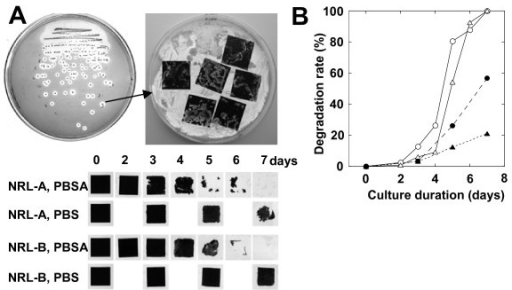 Screening and evaluation of biodegradable plastic degrading yeast from phyllosphere. (A) Screening method and degradation of 2 × 2-cm squares of PBSA and PBS mulch film at 30°C by yeasts (NRL-A and NRL-B) isolated from two rice leaves. (B) Quantification of film degradation rates of PBSA film by strain NRL-A (open circle), NRL-B (open triangle), and degradation rates of PBS film by NRL-A (closed circle), NRL-B (closed triangle).