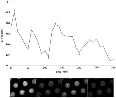 Oscillating GFP expression observed in microdish wells.Fluorescent E. coli cells in the wells of the microdish showing variations in signal strength over time. The graph depicts variations plotted with the image analysis and processing tool ImageJ. The x-axis represents time, and the y-axis represents fluorescence (in arbitrary units and with a variance of maximally 0.01 for the normalised data of 5 wells). Below the graph are microscopic images of fluorescent bacteria in the cultivation chip wells at different intervals using identical illumination conditions and CCD camera exposure times. The time points at which the images were taken are indicated with an asterisk.
