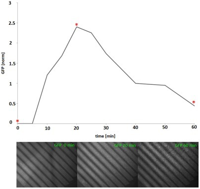 Co-cultivation of cells separated by a microsieve.Increase of GFP expression of inducible cells on the sieve after inoculation of inducer cells below. Graph plotted with the image analysis and processing tool ImageJ. The x-axis corresponds to time and the y-axis shows the detected GFP signal (in arbitrary units). Below: a number of representative images of the microsieve. The time points at which the images were taken are indicated with an asterisk.