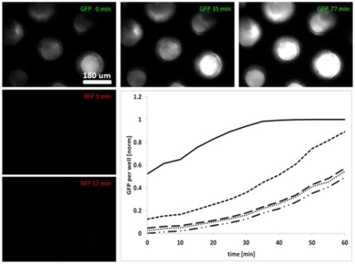 Co-cultivation of cells in the flow device.Expression of GFP increases over time in cells growing in microdish wells after adding inducer (Acyl homoserine lactone (AHL) producing) and RFP expressing cells to the bottom compartment of the flow device. The intensity of the light emitted from five wells was quantified using imageJ and normalized against the background. No RFP was detected in the top chamber, indicating that the inducer-cells added to the bottom chamber did not come in contact with the top, and GFP expression was induced by diffusion of the inducer (AHL) through the microdish.