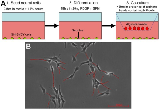 Schematic overview of experimental setup and analysis.(A) Diagram illustrating the co-culture model. (B) Measurement of neurite outgrowth from SH-SY5Y cells. Neurites were traced (red lines) and the mean neurite length measured for the total number of cells in each field of view. The mean percentage number of neurite expressing cells in each field of view was also calculated.