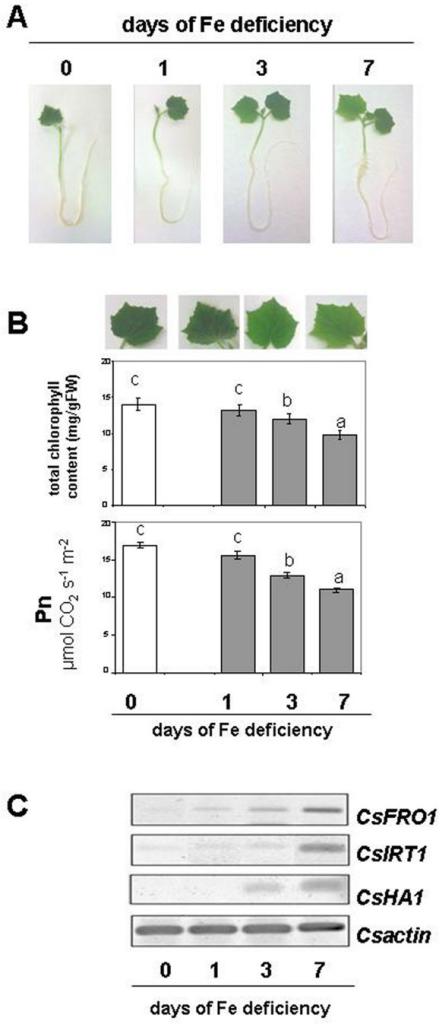 (A) Effect of Fe-deficient treatment on plant growth, (B) chlorophyll concentration and photosynthesis, (C) RT-PCR analysis of the expression of Strategy I genes (CsFRO1, CsHA1 and CsIRT1) in roots. Sampling was done at 0, 1, 3, 7 d after Fe withdraw. Data are means ± SE (n = 4). In the case of significant difference (P<0.05) values with different letters are statistically different.