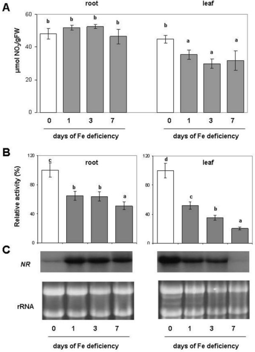(A) Nitrate concentration, (B) enzymatic activity and (C) Northern Blot analyses of NR. Assay and northern blot were performed on root and leaf of plant during the progression of Fe deficiency treatment. Sampling was performed at 0, 1, 3, 7 days after Fe withdraw. The activities are expressed as percentage (%) of the relative activity of the Fe-deficient samples (columns 1, 3, 7 d) compared to Fe sufficient plants (column 0 d). Activity of control (0 d) was 5.6 and 9.8 nmol NADH mg-1 prot min-1, respectively for root and leaf (complete activity data are reported in Additional file1). Data are means ± SE (n = 4). In the case of significant difference (P<0.05) values with different letters are statistically different.