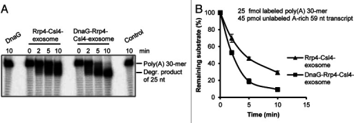 Figure 5. DnaG enhances the interaction between poly(A)-RNA and the Rrp4-Csl4-exosome. (A) A phosphorimage of a 16% polyacrylamide gel with degradation assays containing 25 fmol radioactively labeled poly(A) 30-mer and 45 pmol unlabeled A-rich transcript (59 nt). 0.3 pmol of DnaG, the Rrp4-Csl4-exosome or the DnaG-Rrp4-Csl4-exosome were present in each reaction mixture as indicated above the panel. The Strep-Csl4-containing exosomes shown in Figure 1F were used. The incubation time (in min) at 60°C is indicated. The 30-meric poly(A) substrate and the accumulating degradation product of 25 nt (see ref. 21) are marked on the right side. Control, negative control without protein. (B) Graphical representation of the results shown in (A) and from two additional independent experiments.