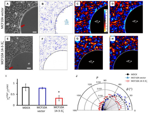 Kenotactic tractions are evident in human mammary epithelial cells MCF10A vector, but are attenuated in MCF10A 14–3–3ζ, which disrupts adherens junctionsA,E: Phase contrast images of nontransformed human mammary epithelial cell line, MCF10A, vector control (A) and cells overexpressing 14–3–3ζ which have decreased expression of cell-cell junctional markers (E)23. B,F: Traction vectors, <T⃗>, averaged over an ensemble of 4 monolayers corresponding to cell types in panels (A,E) (see Methods). C,G: Color maps of x-component of tractions,<Tx>. D,H: Color maps of tractions normal to the frustrated edge, <Tn>. In case of nontransformed MCF10A vector cells, tractions near the frustrated edge are largest and oriented toward the edge (B,C,D). In case of MCF10A 14–3–3ζ cells, however, both the magnitude and alignment of tractions near the edge are attenuated (F,G,H). I: Normal component of tractions at the frustrated edge normalized by root-mean-square (RMS) traction across the entire maps, , for three cell types, MDCK (black), MCF10A vector (blue) and MCF10A 14–3–3ζ cells (red) (see Methods). *:  of 14–3–3ζ transfected MCF10a cells is smaller than that of vector-transfected MCF10A cells or that of MDCK cells (mean +/− standard error of the mean; p< 0.05 by Kruskal-Wallis test). J: The alignment angle, φ, between traction vectors at the frustrated edge and normal vectors to the edge for three cell types in panel (I). MDCK and MCF10A vector cells are seen to exert tractions highly oriented toward the frustrated edge, which are largest at that edge (I, J). In contrast, MCF10A 14–3–3ζ cells exert tractions in smaller extent toward the edge, the alignment angle of which are widely distributed, as if they are not frustrated by the edge (I, J). Scale bar in panels (A,E): 100μm. Each bar in (I) include observations from 6 monolayers of MDCK cells and 4 monolayers per each MCF10A cell type. Distributions in (J) have more than 7,000 observations.